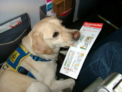 Assistance dog sitting in a seat on a passenger jet.