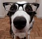 Border Collie dog geek in glasses.