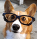Corgi dog geek in glasses.