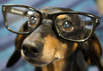 Dachshund dog geek in glasses.