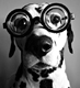 Dalmation geek dog in glasses.