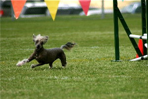 Dog agility athlete.