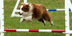 Dog agility bar jump.