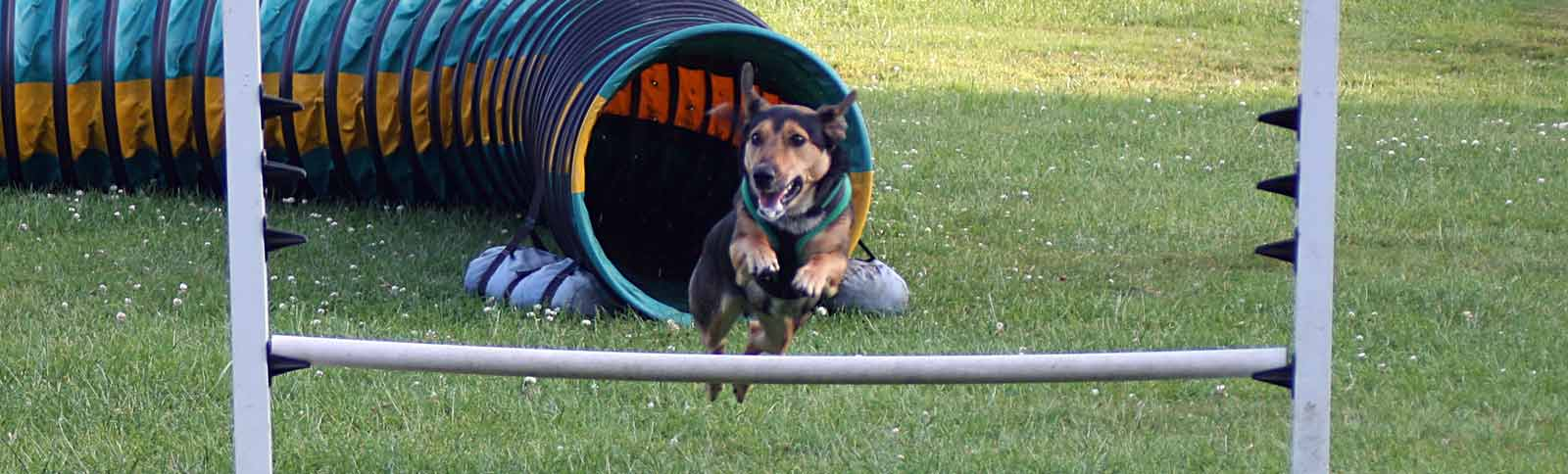 Dog on agility training course dog leaping first jump after tunnel.