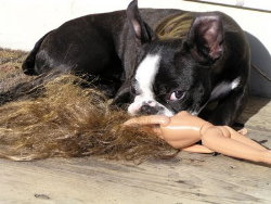 Dog chewing behavior Boston Terrier chewing on a plastic doll.