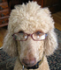 Poodle geek dog in glasses.