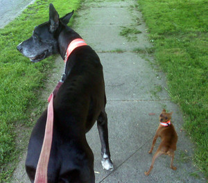 A pair of dogs pulling on leash.