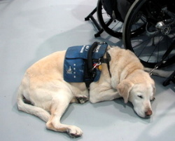 Service dog working and waiting patiently.