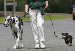 Person walking two dogs.
