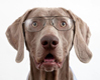 Weimaraner geek dog in glasses.