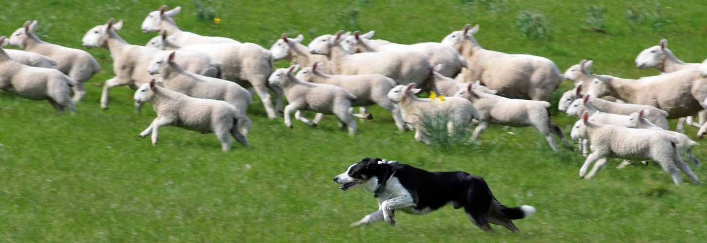 Border Collie working dog herding a running flock of Sheep.